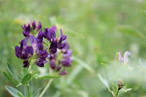 Alfalfa Blossom